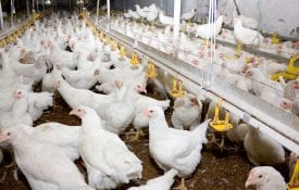Young broiler chickens at a poultry farm, contract poultry growers