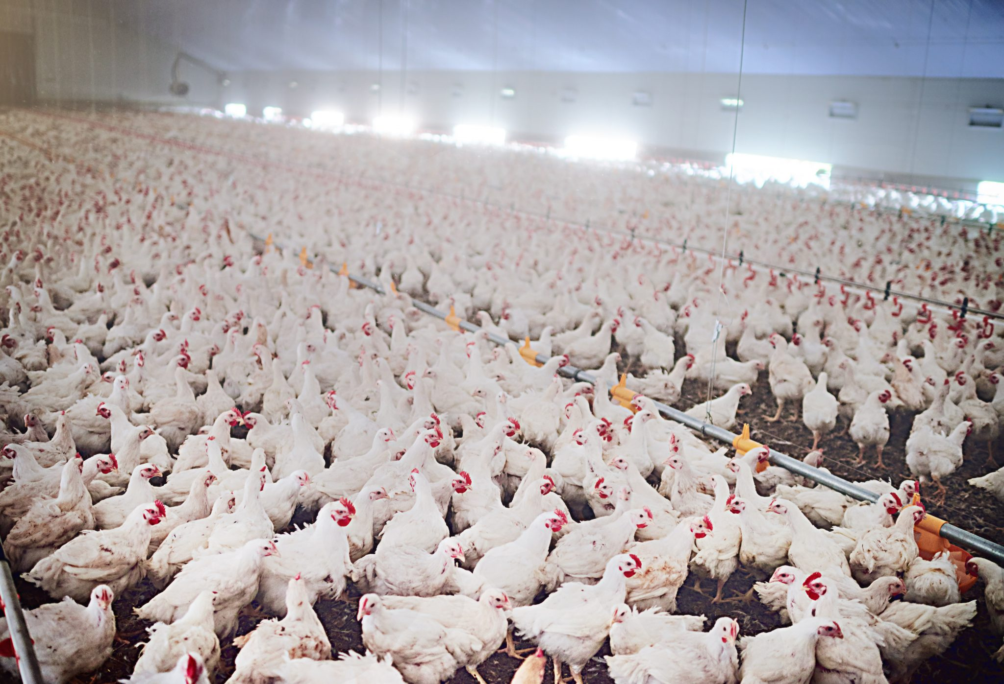 Poultry Pest Management - Alabama Cooperative Extension System