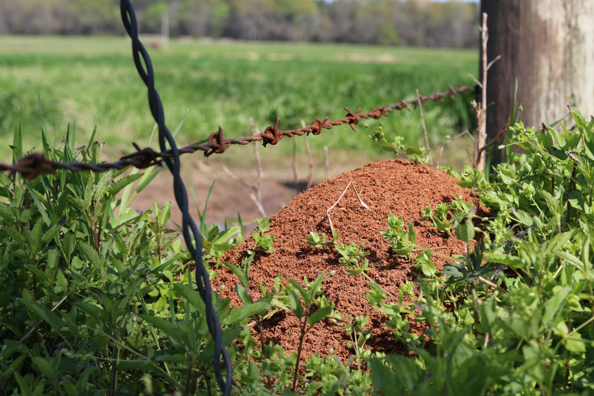 Fire ant mound along a fence.
