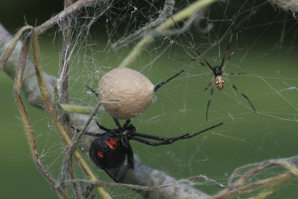female and male black widow spider
