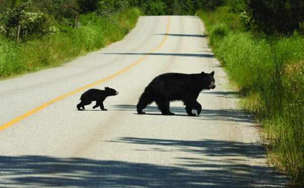 In some parts of Alabama, black bears may be mistaken as cougars.