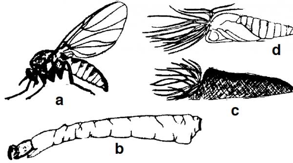 Figure 6. Turkey gnat: (a) adult, (b) larva, (c) cocoon, (d) pupa