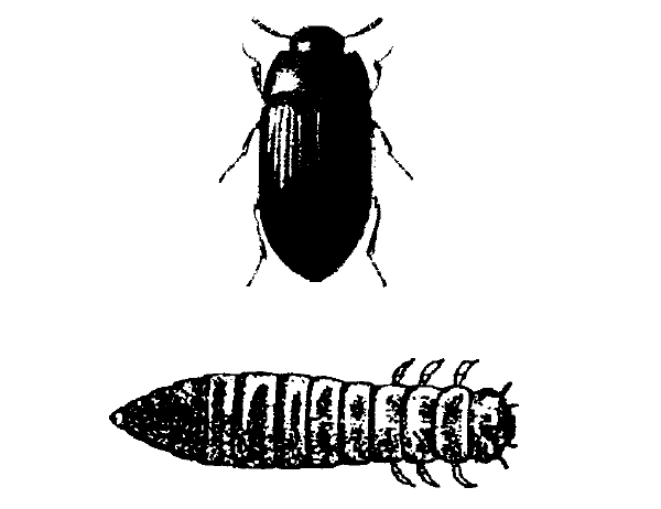Figure 7. Lesser mealworm or darling beetle adult larva