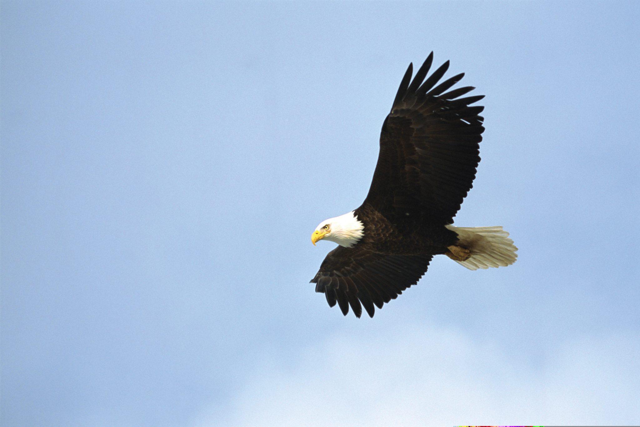 Bald eagle flying, Alaska, US