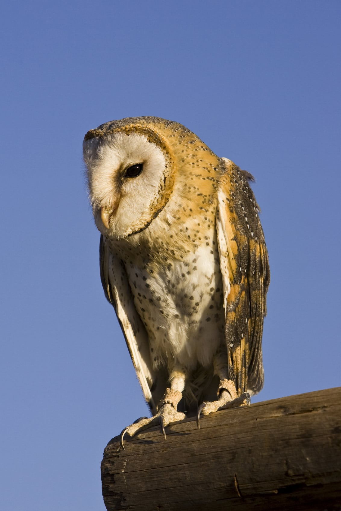 Barn Owl Alabama Cooperative Extension System