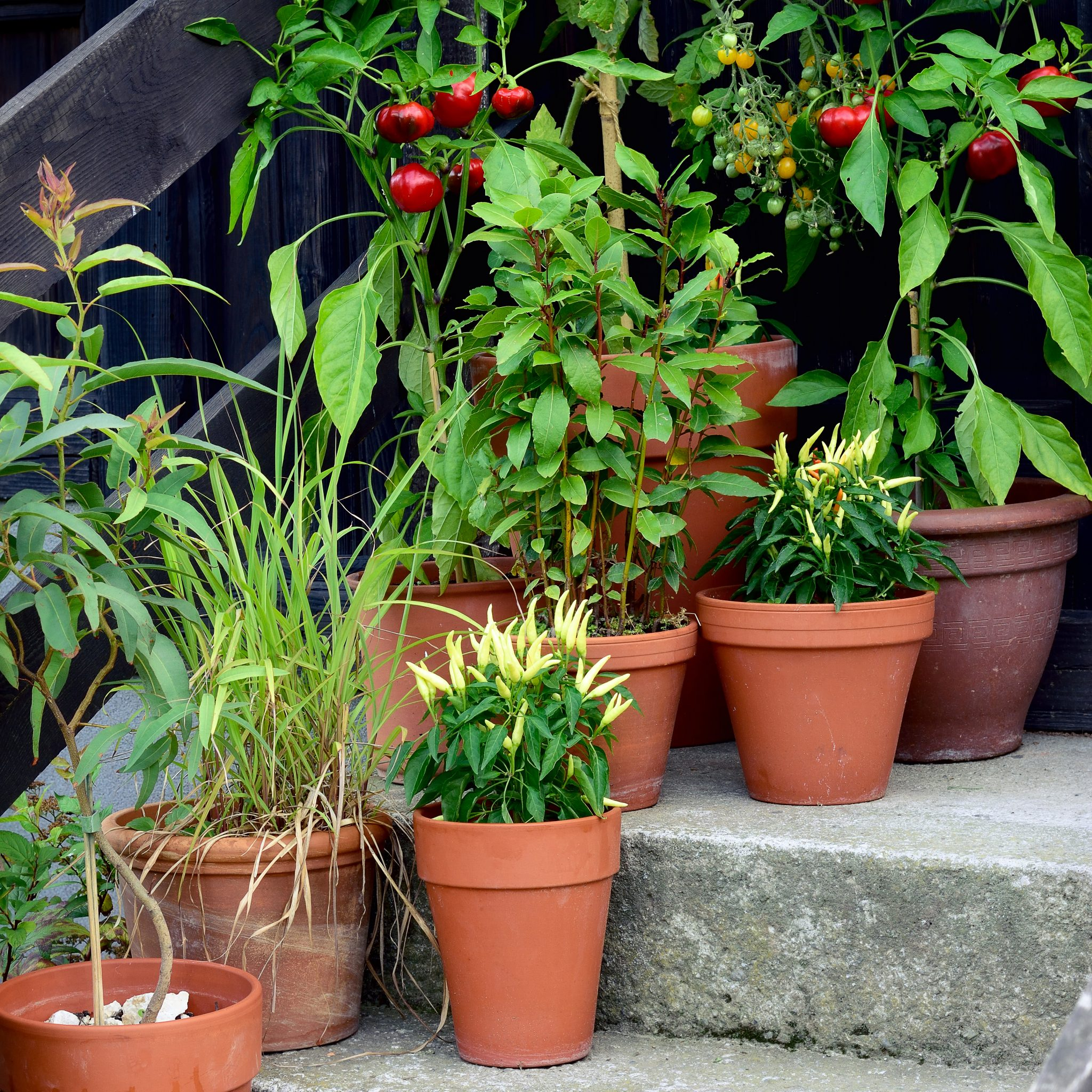 A grouping of 8 edible plants grown in containers and pots on the steps of an urban home: tomatoes, peppers, lemon grass.