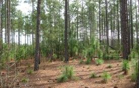 Longleaf pine seedlings (Photo credit: Becky Barlow)