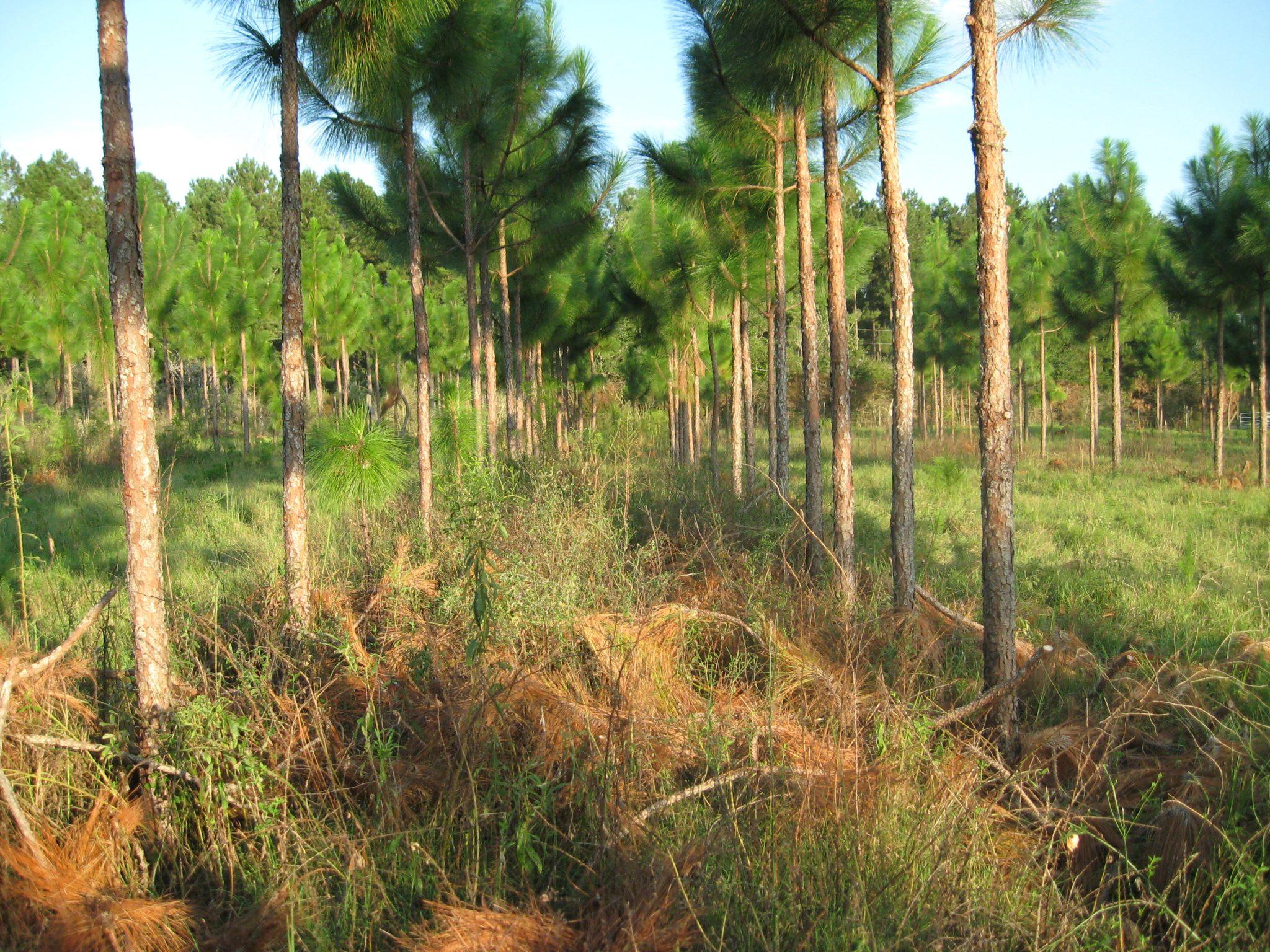 Planted longleaf pine.