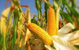 field corn. shutterstock.com/ Zeljko Radojko