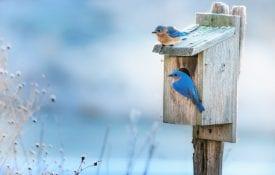 Blue birds sitting on house