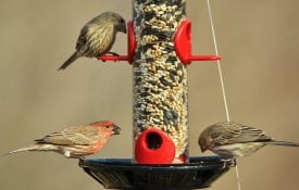 Birds eating at a feeder