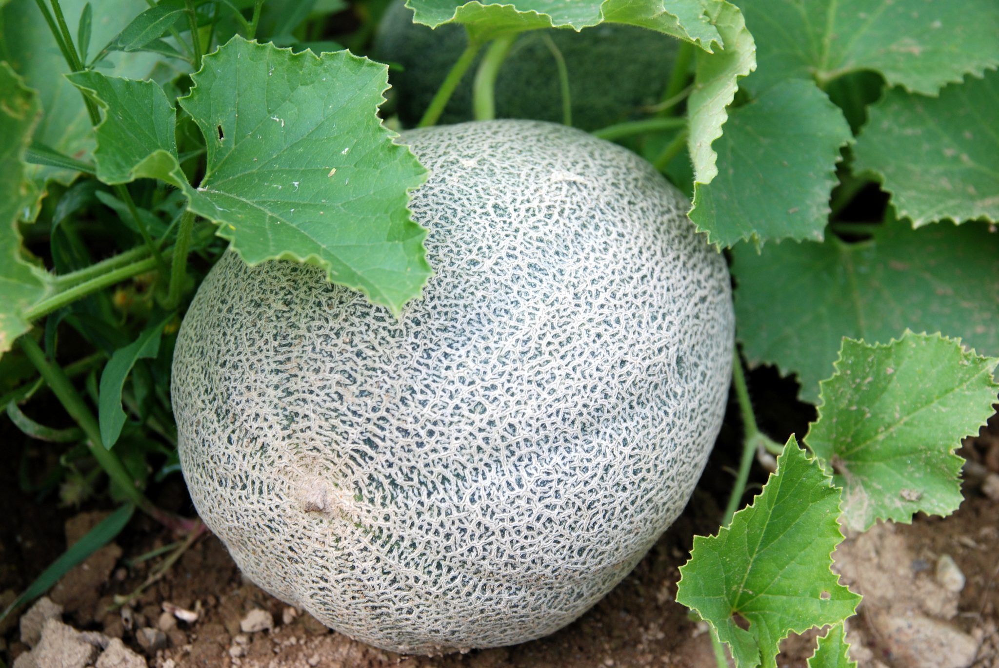 There are several different cover crops management methods cantaloupe growers can utilize in order to maximize production and soil fertility.