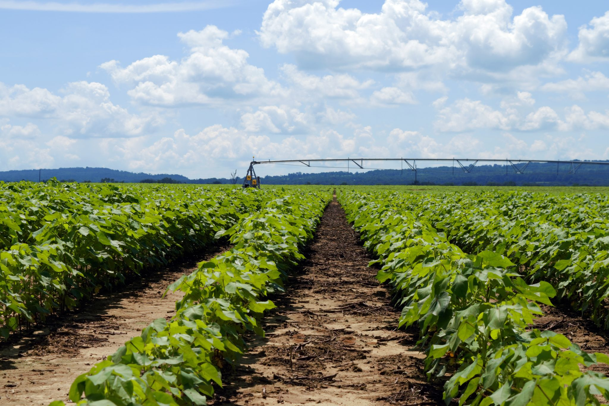 cotton field under irrigation. shutterstock/Dharris324.