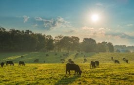cows grazing, grazing systems