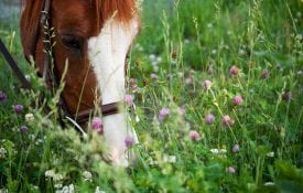 Horse grazing cover crops.