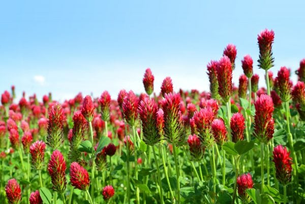 field of crimson clover