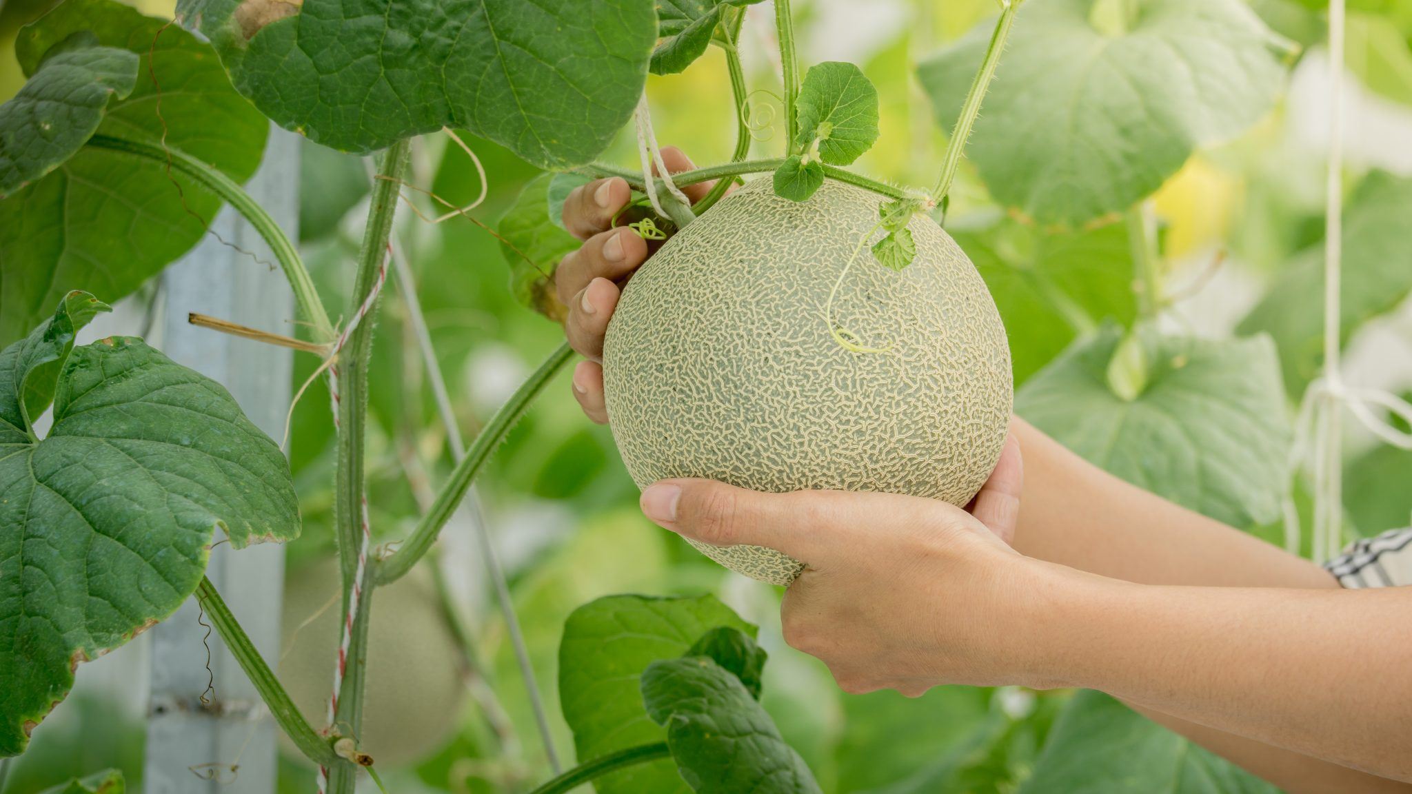 There are several different management options for vegetables, like cantaloupe.