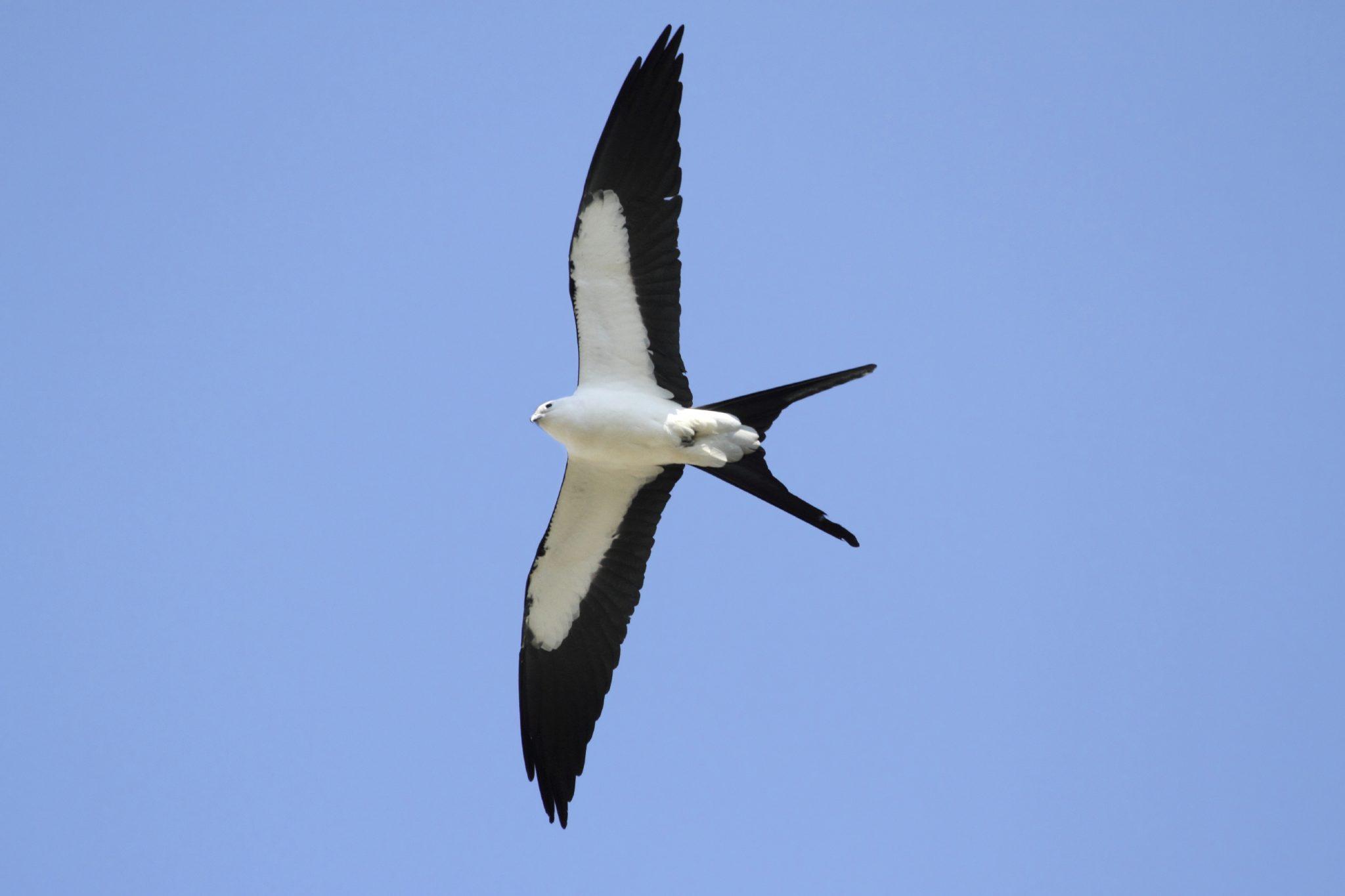 Swallow-tailed kite (Elanoides foficatus)