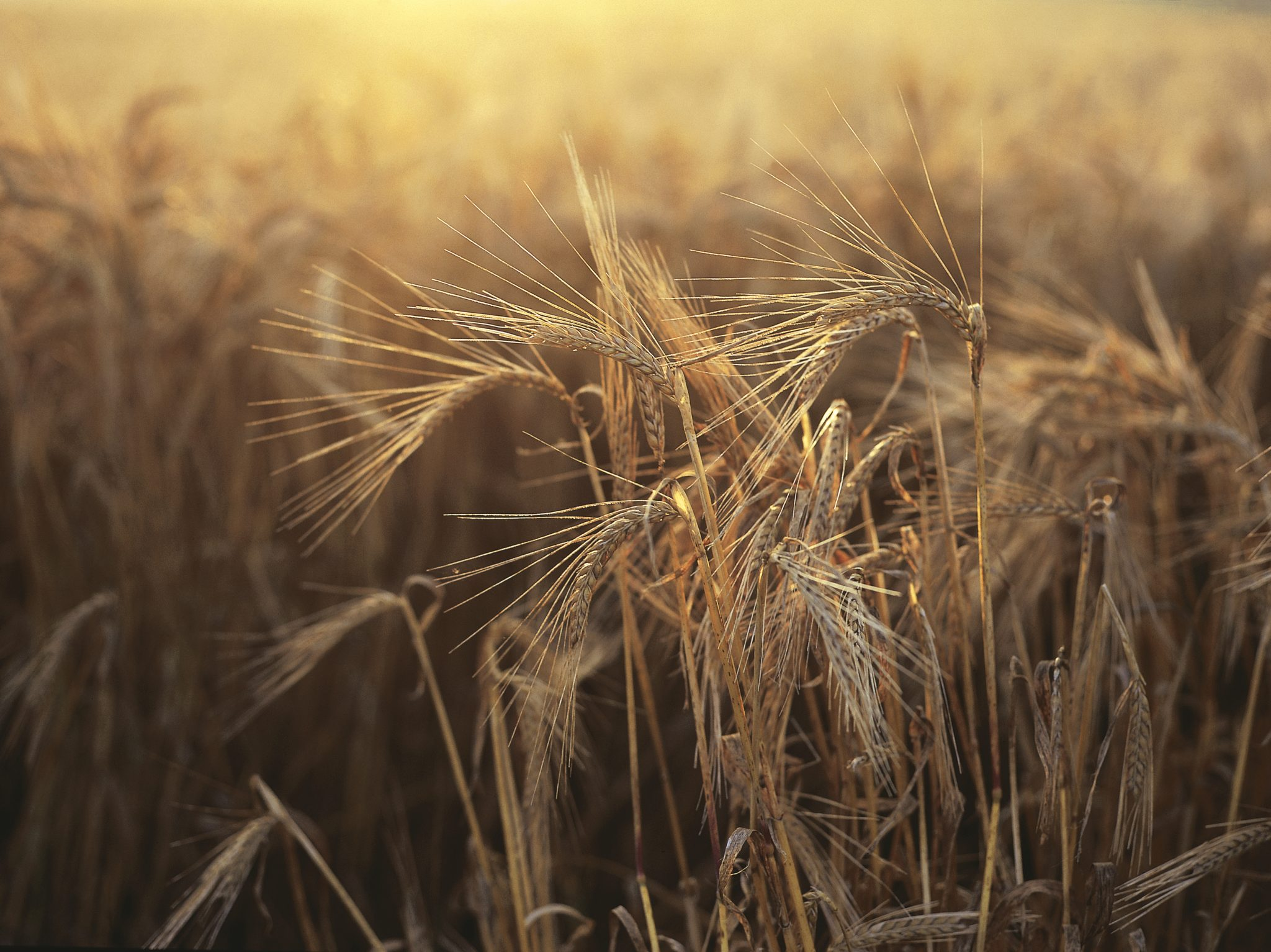 close-up of wheat in a field