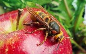 Yellow jacket on an apple.