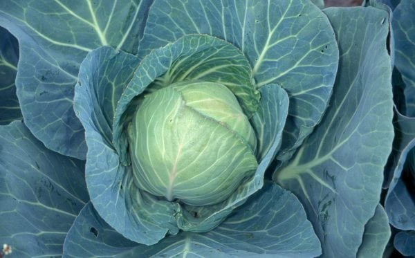 Image of cabbage