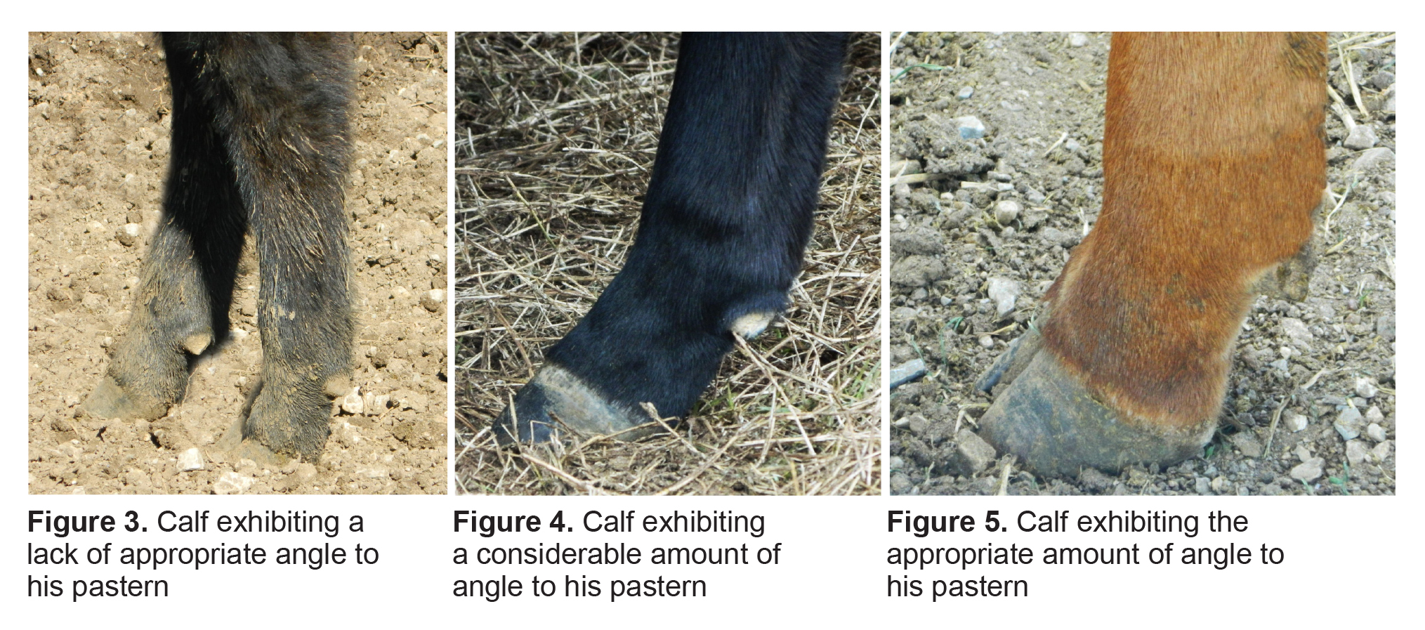 Figure 3. Calf exhibiting a lack of appropriate angle to his pastern. Figure 4. Calf exhibiting a considerable amount of angle to his pastern. Figure 5. Calf exhibiting the appropriate amount of angle to his pastern.