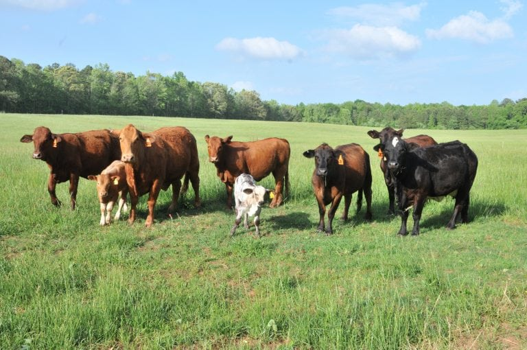 By-Product Feeds for Alabama Beef Cattle - Alabama