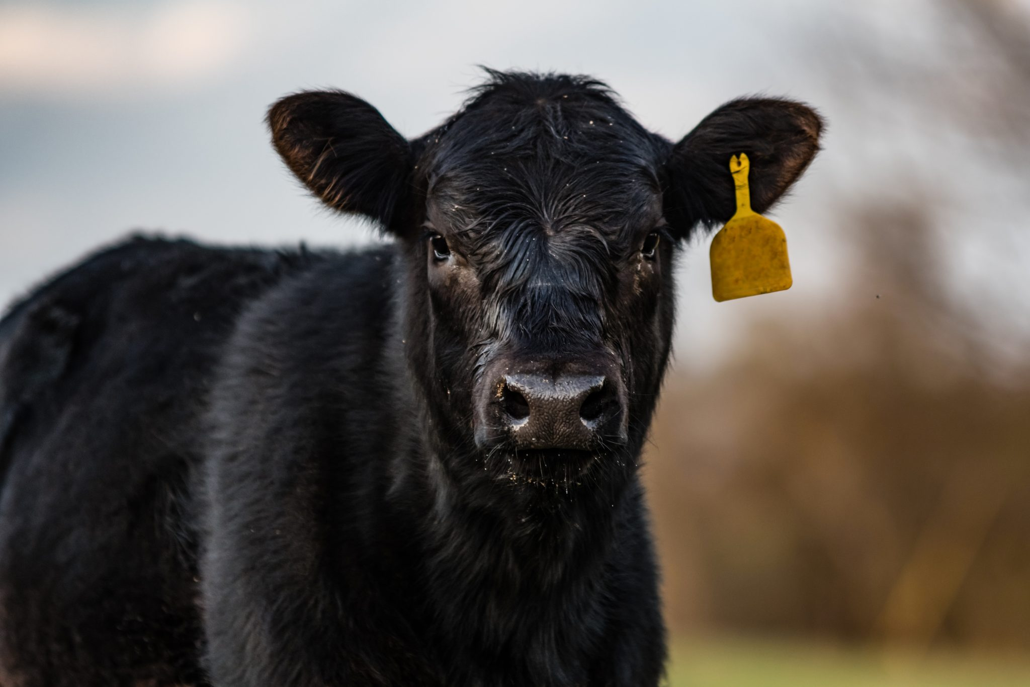 Black calf with yellow identification ear tag.