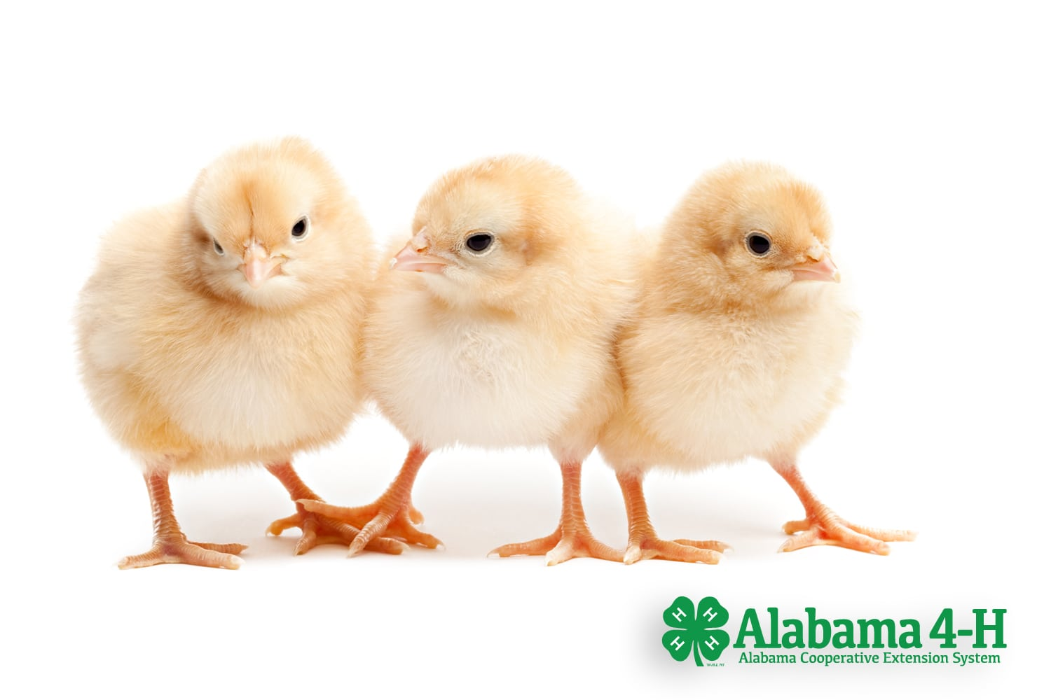 chicks on white background in Alabama 4-H Chick Chain; Alabama 4-H; Animals