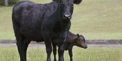 Black cow and calf pair standing in a pasture.