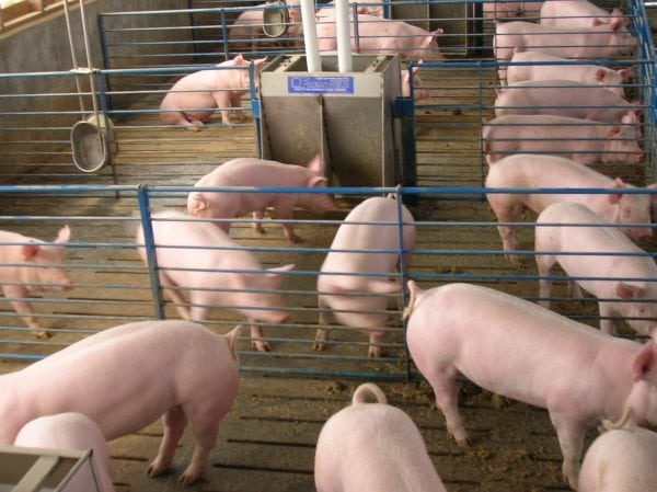 Several pigs in a pen.
