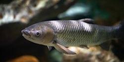 Amur fish (grass carp)