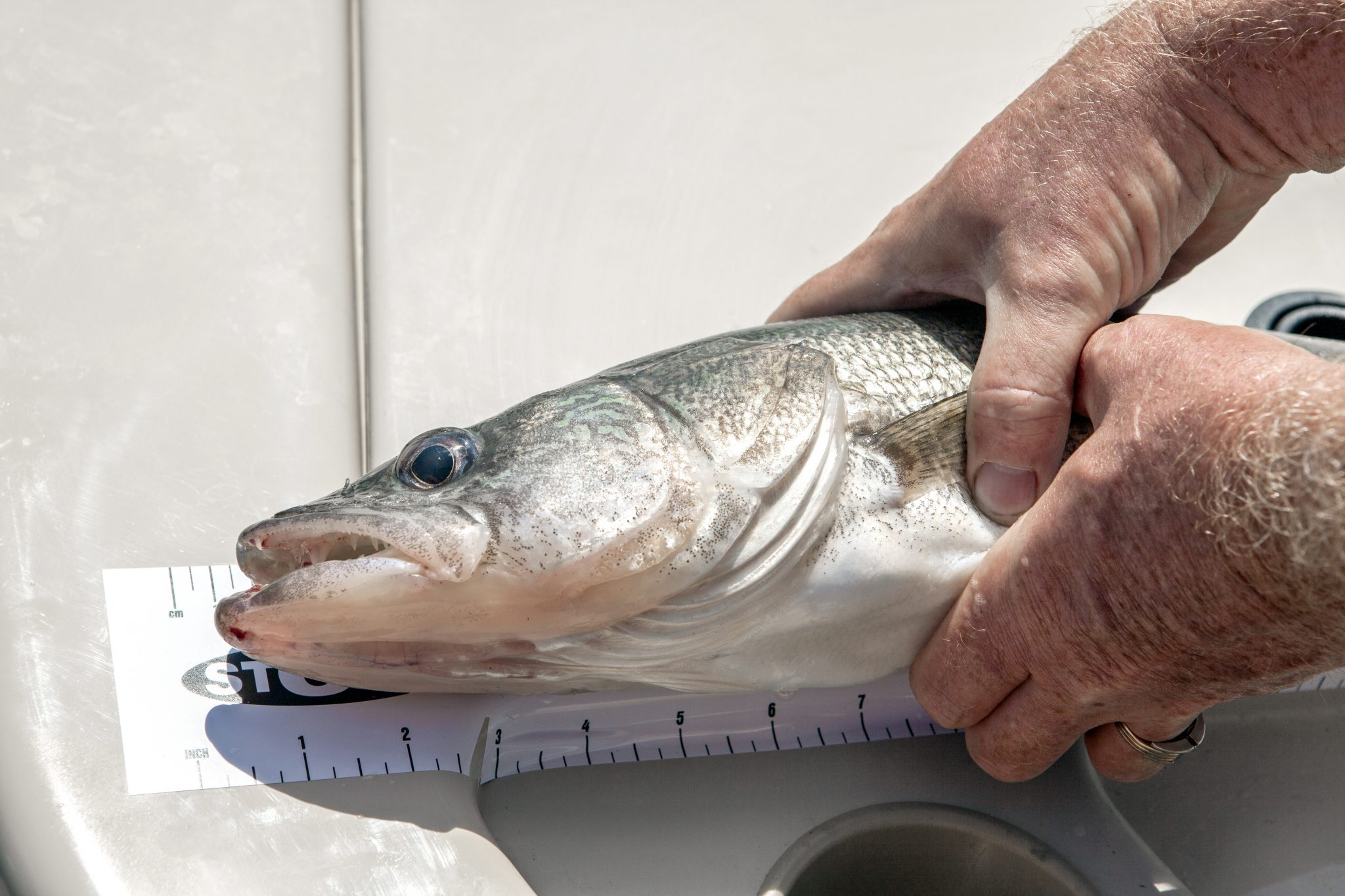 Measuring a caught fish