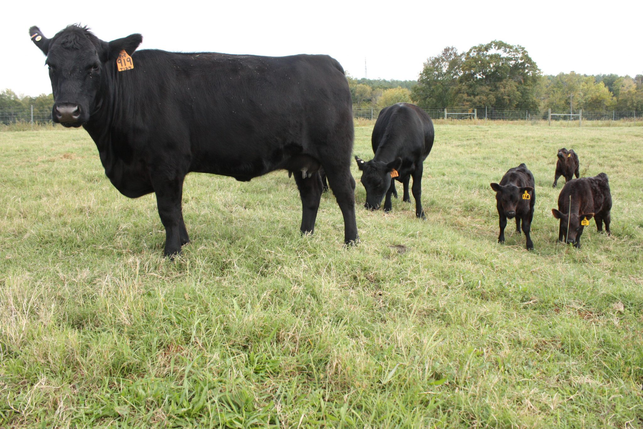 Cows and calves in a pasture.