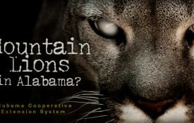 Mountain lions in Alabama