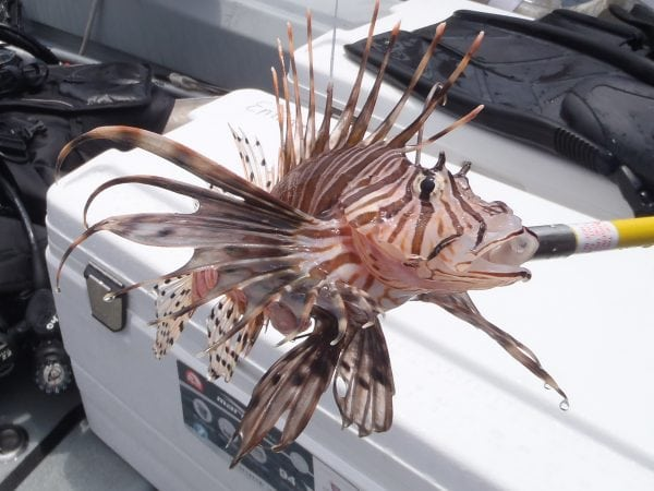 A venomous lionfish captured in Alabama waters