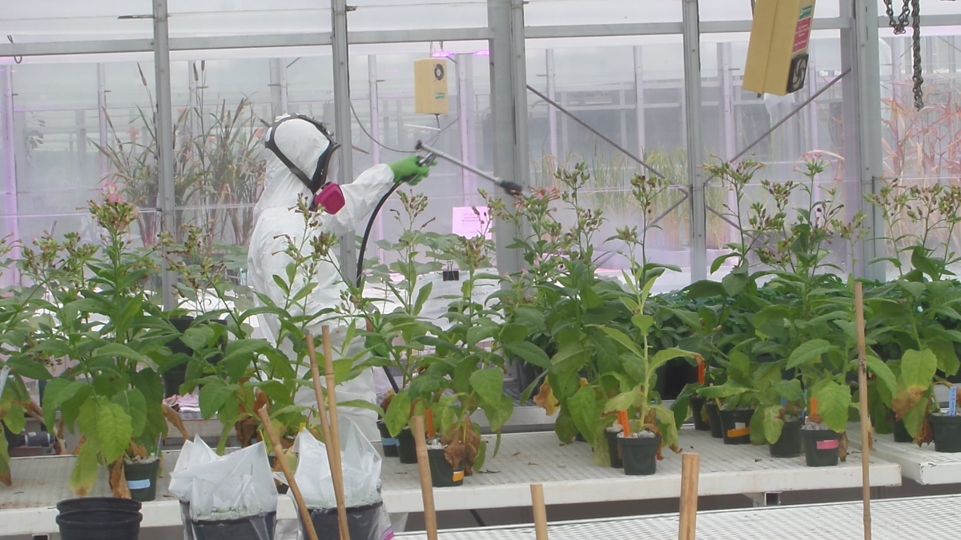 Applying Pesticides in Greenhouse