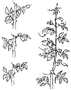 For most rose buds, cuts should be made below the third true leaf. For occasional longer stems, stems may be cut above the first true leaf above the break. First year plants should be cut higher (at or near the first true leaf) to allow more leaves to remain on the plant and produce food.