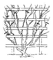 After each flowering, prune climbing roses back as shown. Prune weak, diseased, or dead stems back anytime they are observed. Do not allow climbers to become overgrown, with thick, dense growth of branches.