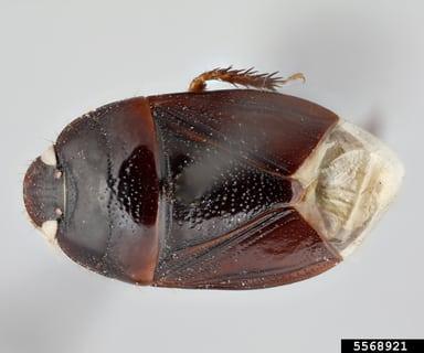 burrowerbug