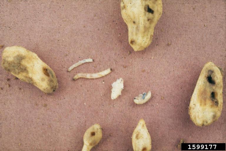 Corn Rootworm Larvae