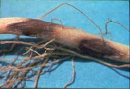 Reddish-brown, sunken lesion on bean root caused by Rhizoctonia root rot