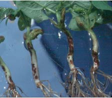 Rhizoctonia root rot lesions near soil-line on beans