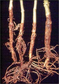 Reddish- brown lesions and lengthwise cracks typical of Fusarium root rot on bean