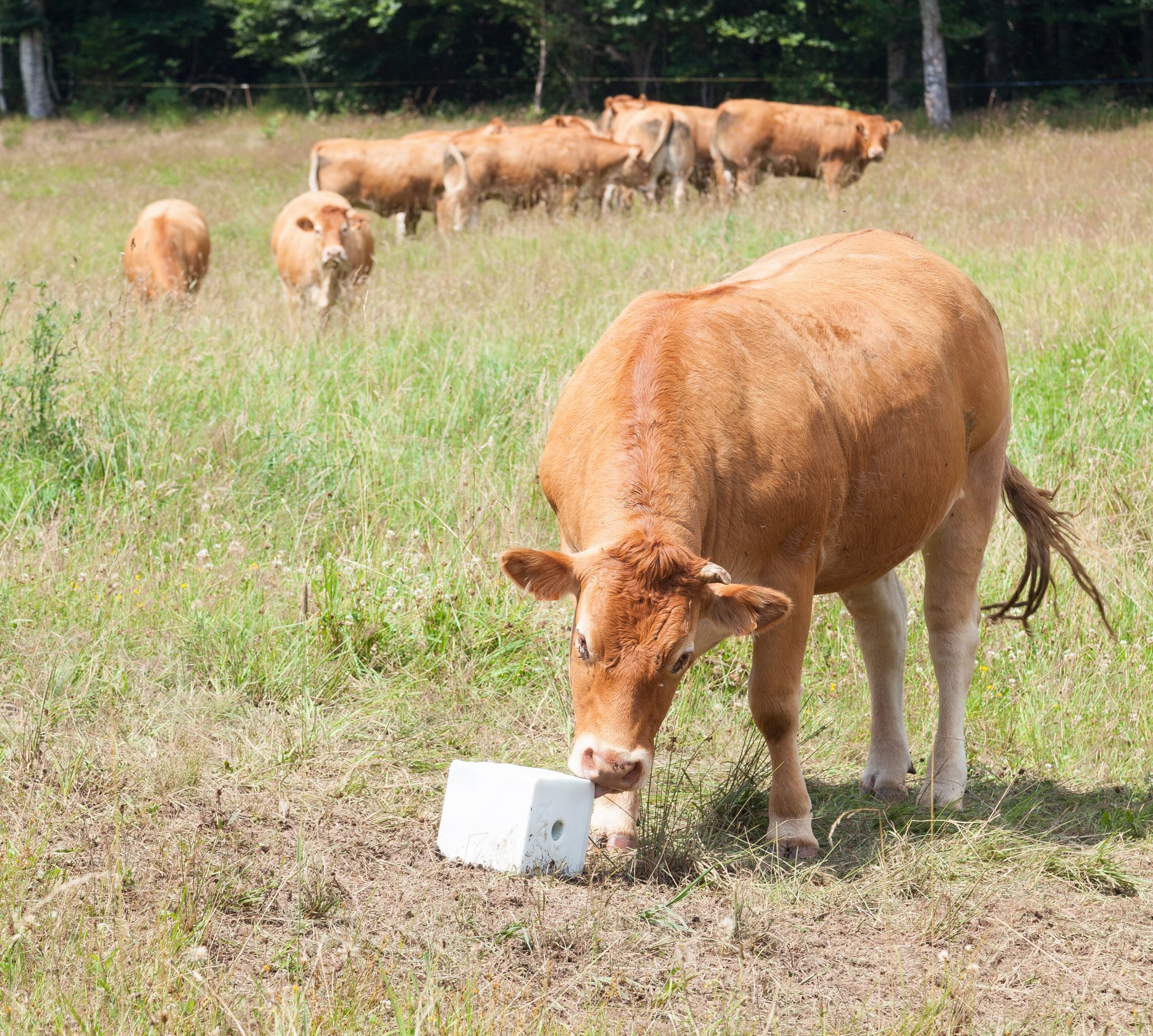 Cow eating a new cube of salt lick mineral supplement