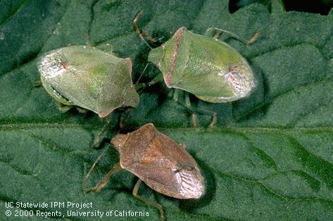 southern stink bug