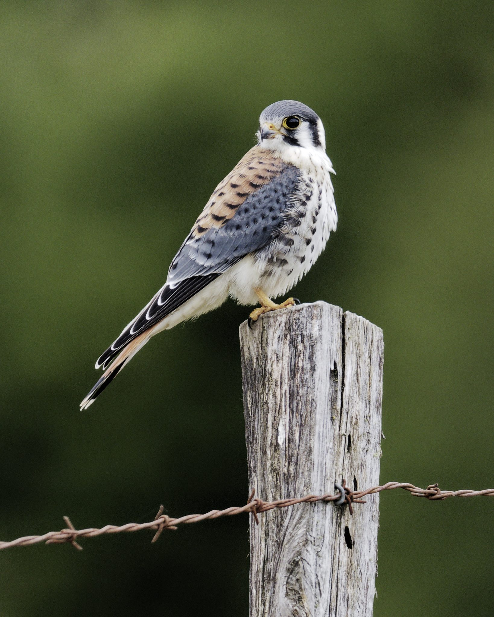 A male American Kestrel perches on a fence post