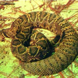 Identification and Control of Snakes in Alabama - Alabama
