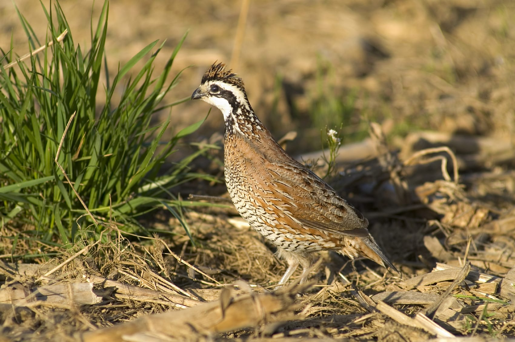 Bobwhite quail are one of Alabama's most sought after gamebirds.