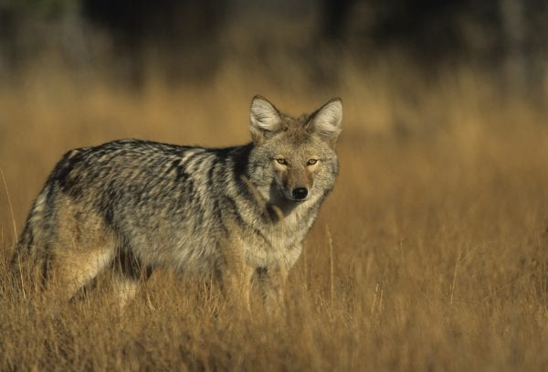 Coyotes and foxes have large home ranges; a successful predator management program for these populations has to be implemented on a substantial amount of land.